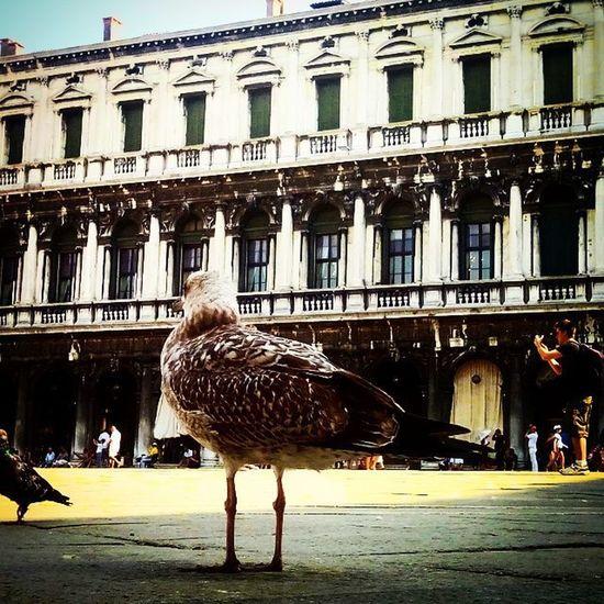 Venzia Piazzasanmarco Gabbiani Piccioni Venice Italia Gitefuoriporta Settembre Laguna Acqua Canalgrande Gondole Battelli Vaporetti
