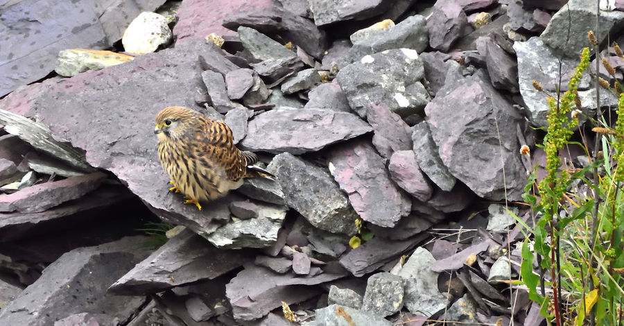 Taken at St David's in Pembrokeshire Beautiful Nature Beauty In Nature Bird Of Prey Bird Photography Birds Of EyeEm  Birds_collection Falco Tinnunculus Juvenile Kestrel Playful Raptor Relaxing