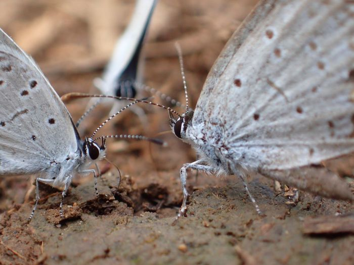 Small Blue Butterflies Insect Animals In The Wild Animal Themes One Animal Butterfly - Insect Wildlife Butterfly Close-up Nature Outdoors No People Leaf Day Animal Wildlife Fragility Spread Wings Small Blue