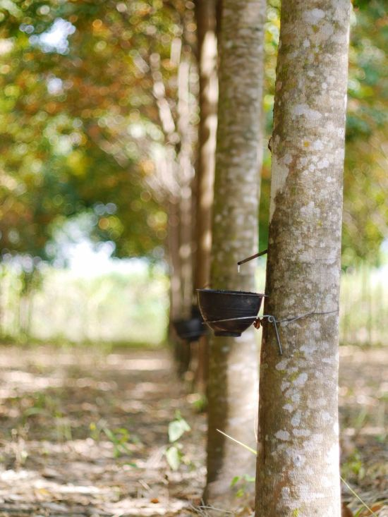 Rubber Trees Rubber Tapping Tapping Rubber Trees Tree Tree Trunk Growth Latex EyeEmNewHere Southeastasia Natural Rubber