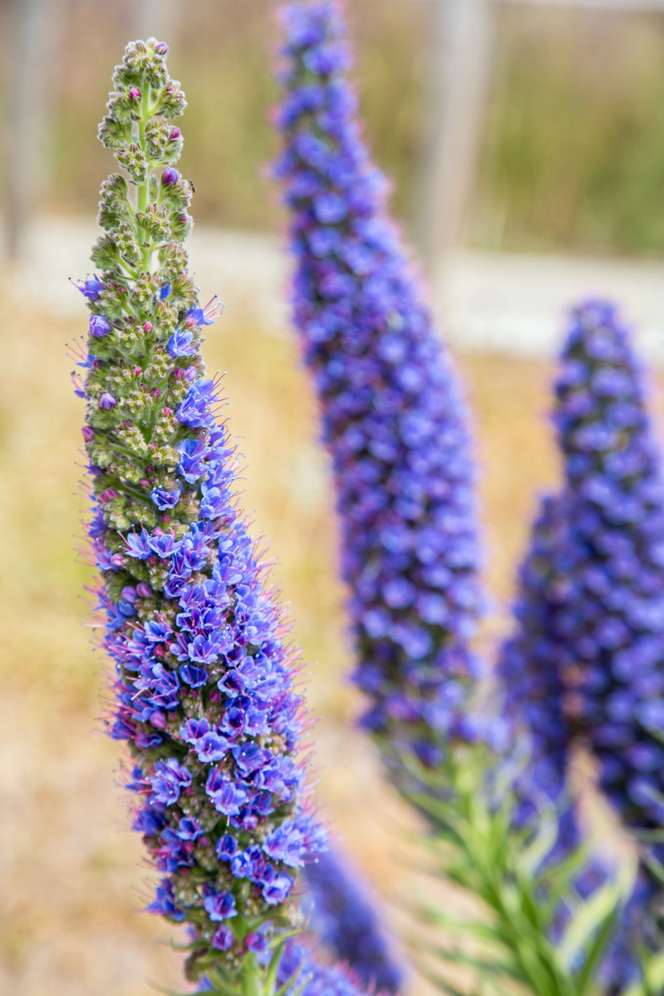 Beauty In Nature Blue Close-up Echium Candicans Flowers Fragility Freshness Of Flower Growth Process Lavender Madeira Island Massaroco Massaroco Endemic Plant Nature No People Outdoors Plant Purple Purple Flower