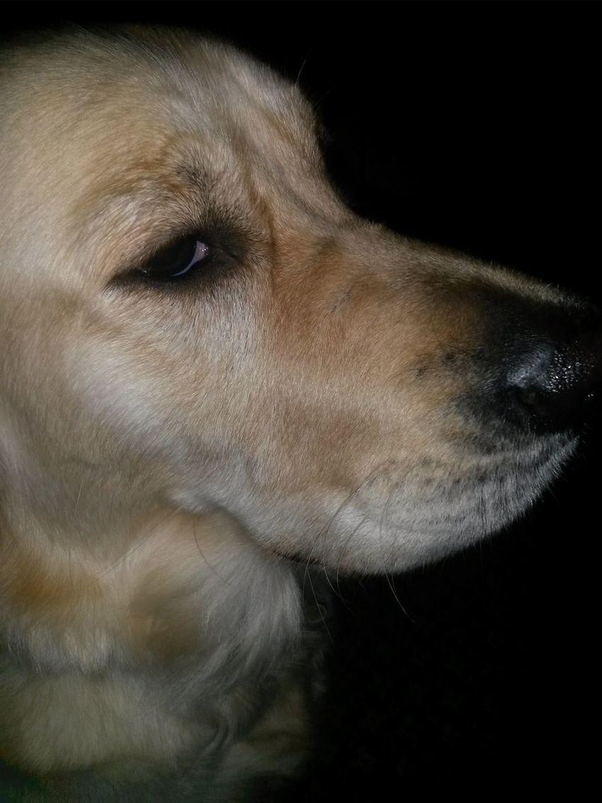 Animal Animals Dog Dog Look Dog Up Close Labrador Labrador Retriever