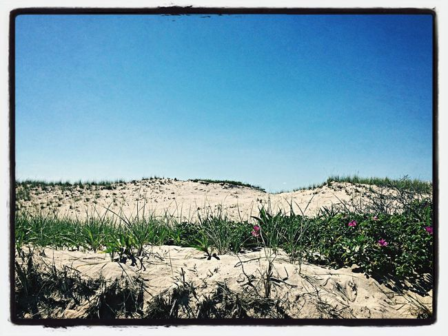 Beach Plums in the Sand Dunes