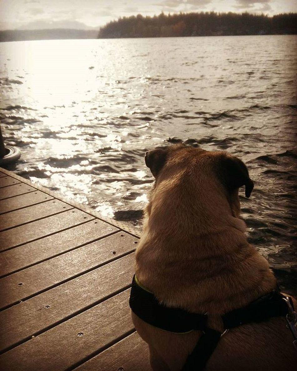 Pug Lakeside Contemplatinglife