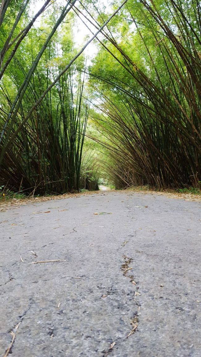 Bamboo Forest Enjoying The Sights Tree_collection  Bamboodesign Bamboo Tree... Trinidad And Tobago Treasures_and_nature Nature_collection