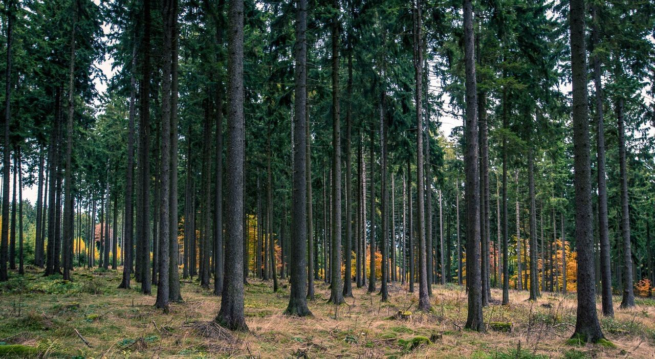 tree, forest, nature, growth, pine tree, no people, tree trunk, day, scenics, outdoors, beauty in nature