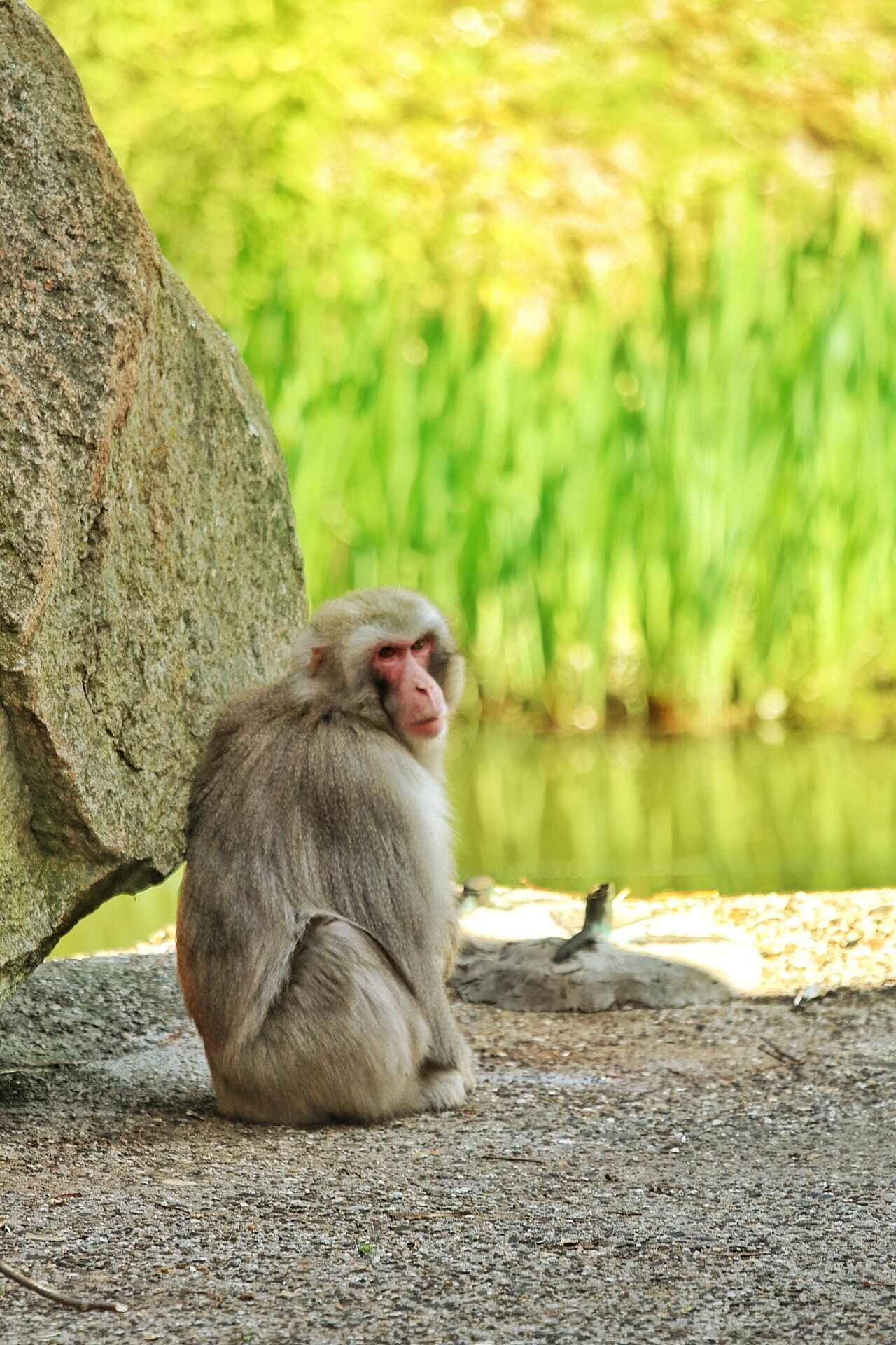 Animal Themes Animals In The Wild One Animal Monkey Mammal Rock - Object Sitting Day Outdoors Animal Wildlife Baboon Ape Monkeys Monkey Business No People Nature Full Length Close-up Japanese Macaque