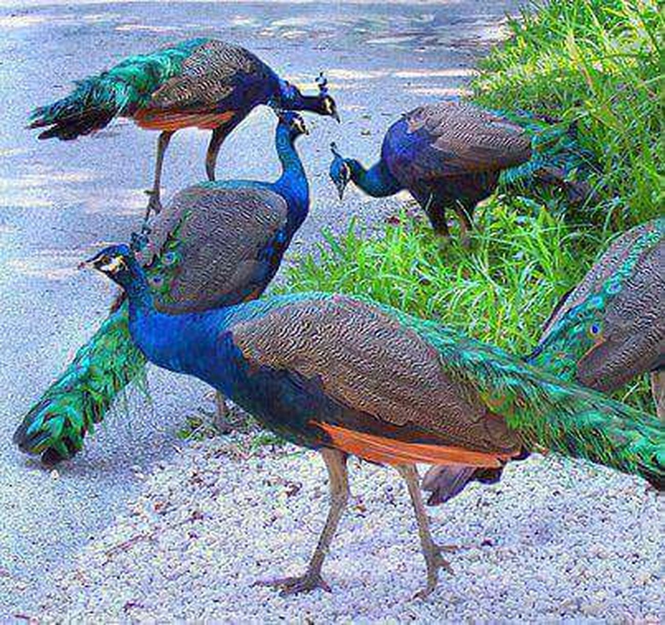 Hello World Peacockphotos Peacock Peacock Colors Peacock Pleasures Love To Take Photos ❤ Beautiful ♥ Bird Photography Birds_collection Global Photographer- Collection Global Photographer Works Exhibition Birds Lover Birds Of EyeEm  I Love It ❤ Have A Nice Day♥ Be Happy :) To All Beautiful Friends From India With Love... ... urs .. Nitin ..