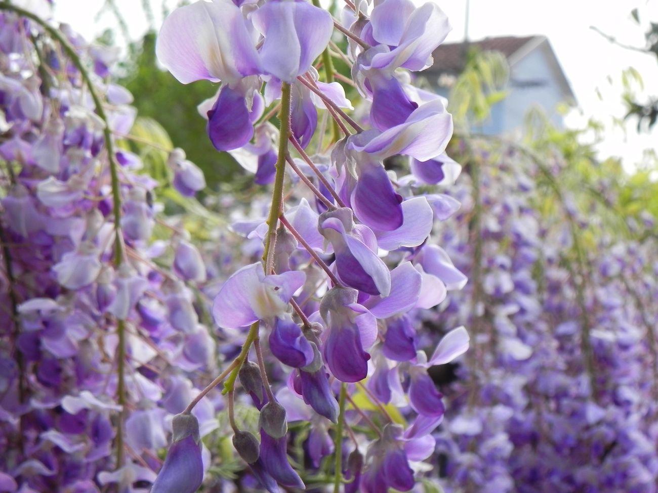 Photo by Nikon p100, Glicine Flower First Eyeem Photo