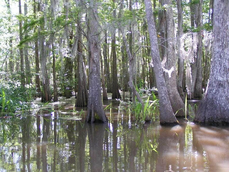 Bamboo Grove Beauty In Nature Day Growth Lake Nature No People Outdoors Plant Reflection Sky Tranquility Tree Water Louisiana Swamp Bayou Louisiana Louisiana Bayou Cypress Trees