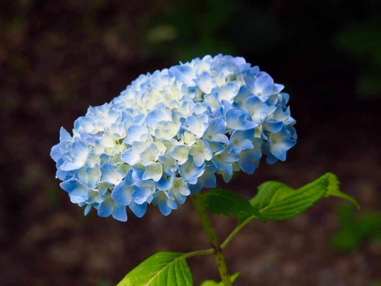 Kyoto Japan Uji Mimurotoji Hydrangea Flower Growth Beauty In Nature Nature Plant Close-up Day Outdoors Blue No People Olympus PEN-F 京都 日本 宇治 三室戸寺 紫陽花 10,000株の紫陽花