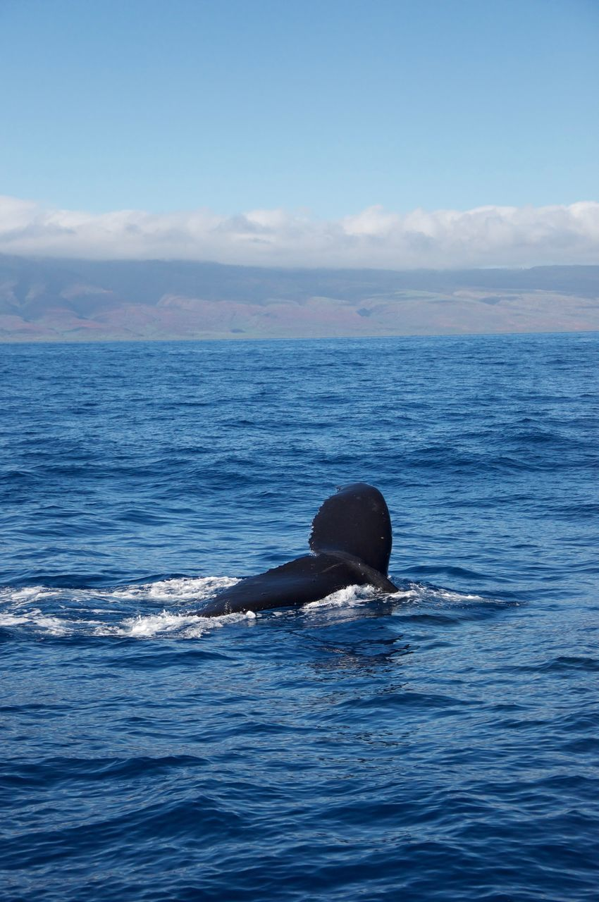 sea, water, one animal, sky, cloud - sky, nature, horizon over water, whale, animals in the wild, sea life, animal themes, waterfront, scenics, beauty in nature, fish, no people, animal wildlife, outdoors, aquatic mammal, humpback whale, day, mammal, animal fin