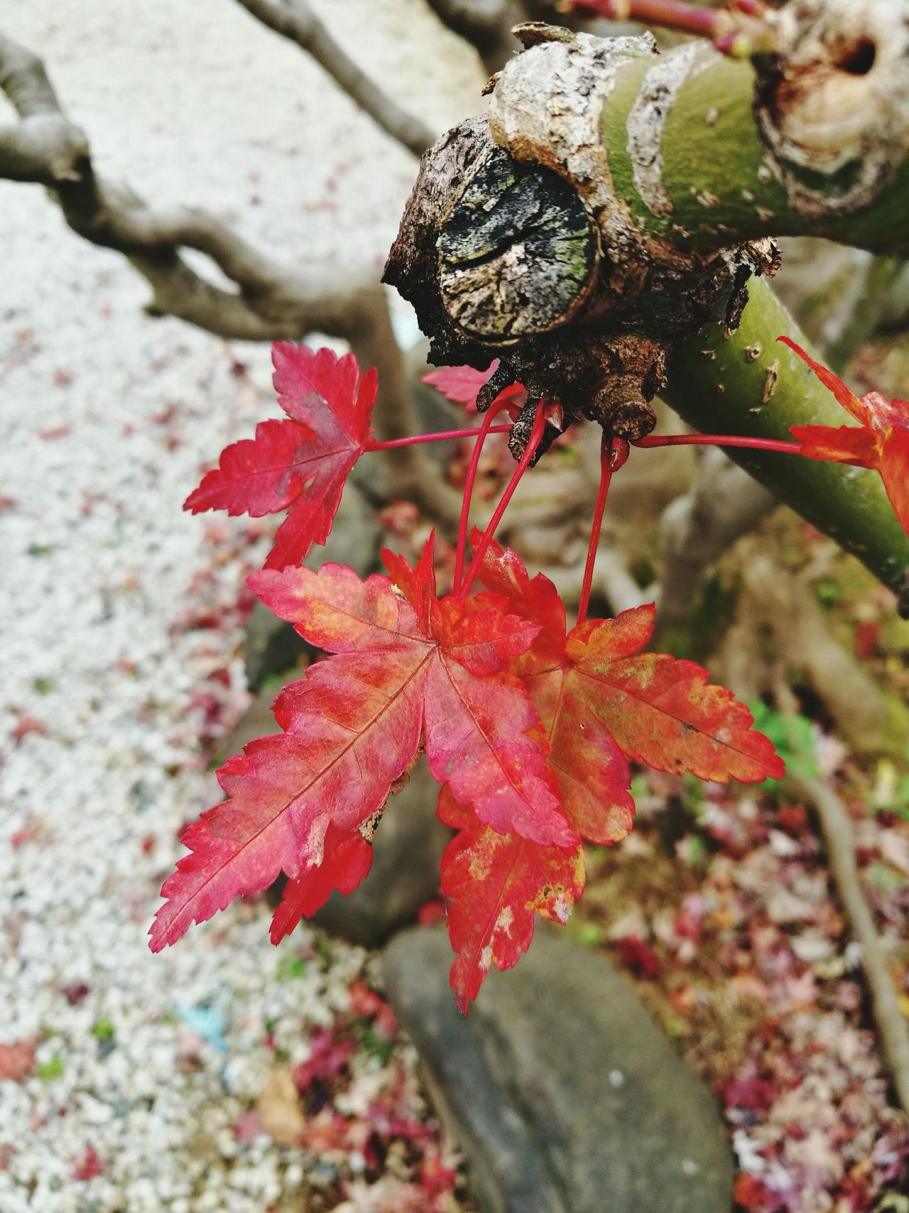 Japan Shinsengumi 日野本宿 Close-up Red Nature Outdoors No People Day Leaf Growth Beauty In Nature