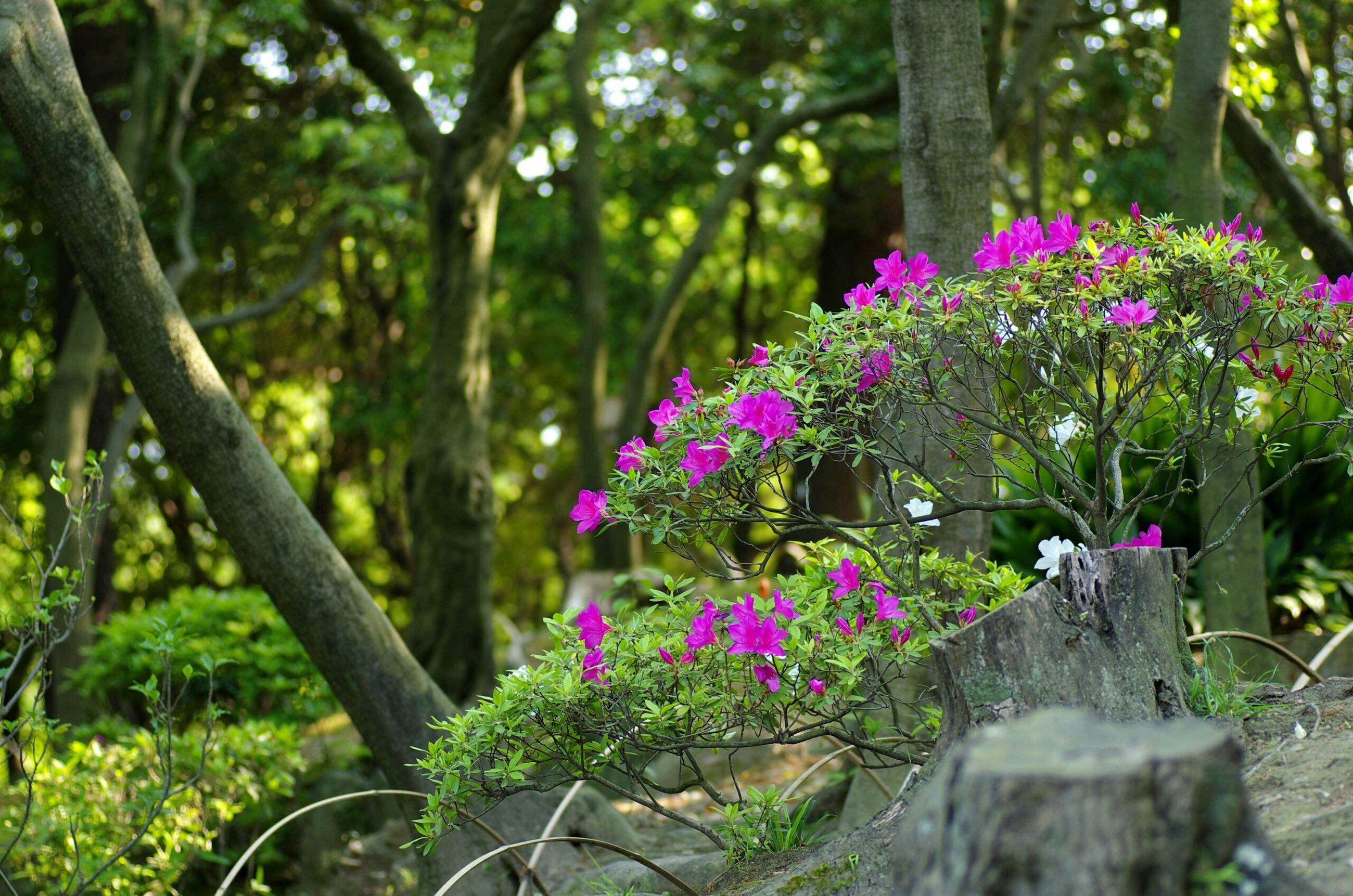 flower, growth, freshness, beauty in nature, fragility, nature, plant, tree, pink color, purple, petal, park - man made space, blooming, tree trunk, in bloom, fence, blossom, focus on foreground, tranquility, green color