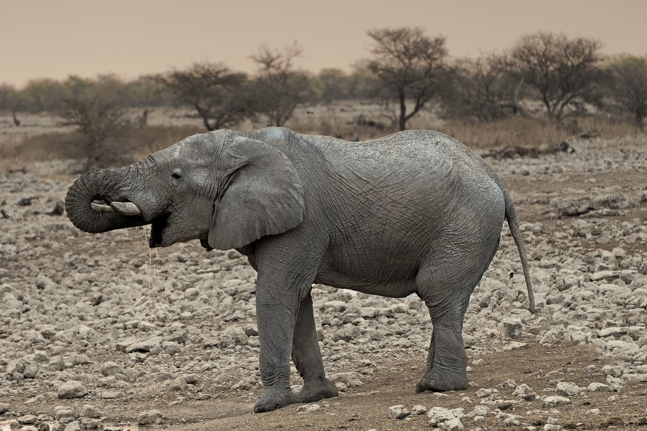 Beautiful stock photos of elefant,  African Elephant,  Animal Themes,  Animals In The Wild,  Day