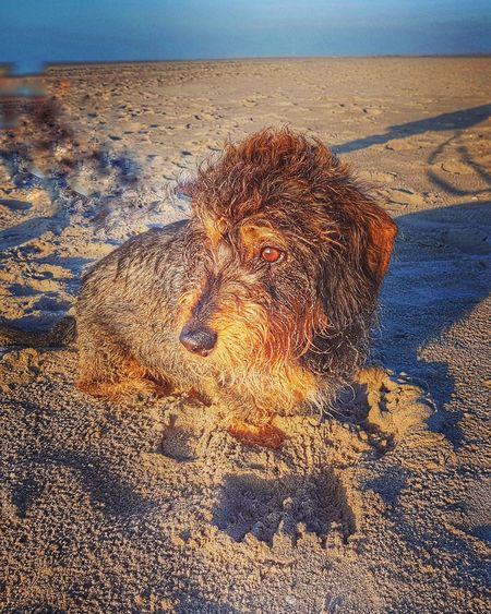 Outdoors Beach Sausagedog Dackel Teckeloneyeem Walkingtoengland Teckel Teckel Amor Mio Teckelphoto Daschund Waterfront Sunlight Nature Beach Dogonthebeach Beachphotography Molenslag Holland Traveling