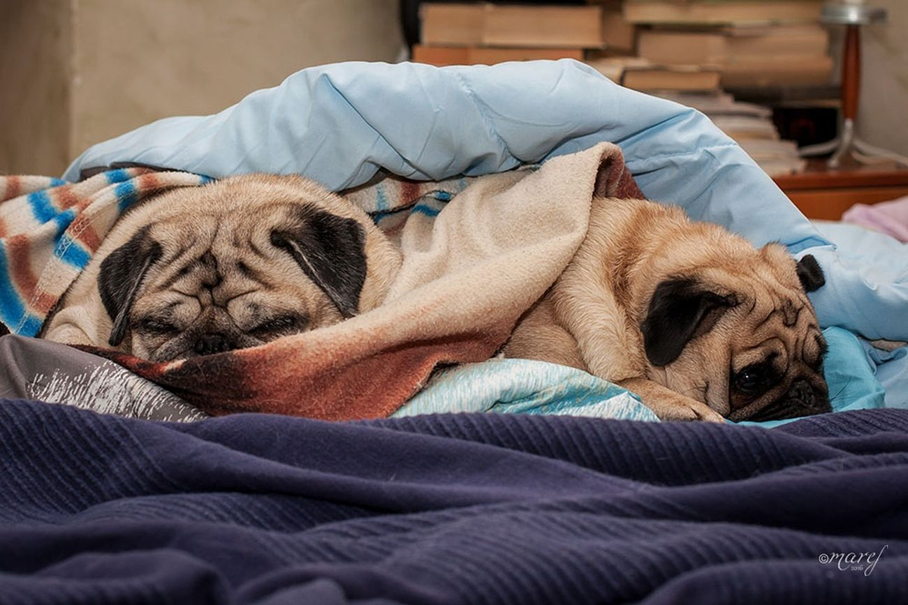 Ulisse and Mathilda Indoors  Bed Sleeping Pillow No People Relaxation Carlino Cane Dog Puglove  Pug Pugsofinstagram Puglover Carlino Pug Life  EyeEm Gallery Pugs The Week Of Eyeem Tranquility Canon_official Canonphotography Animal Themes Indoors  Domestic Animals Pets Dog Dreaming