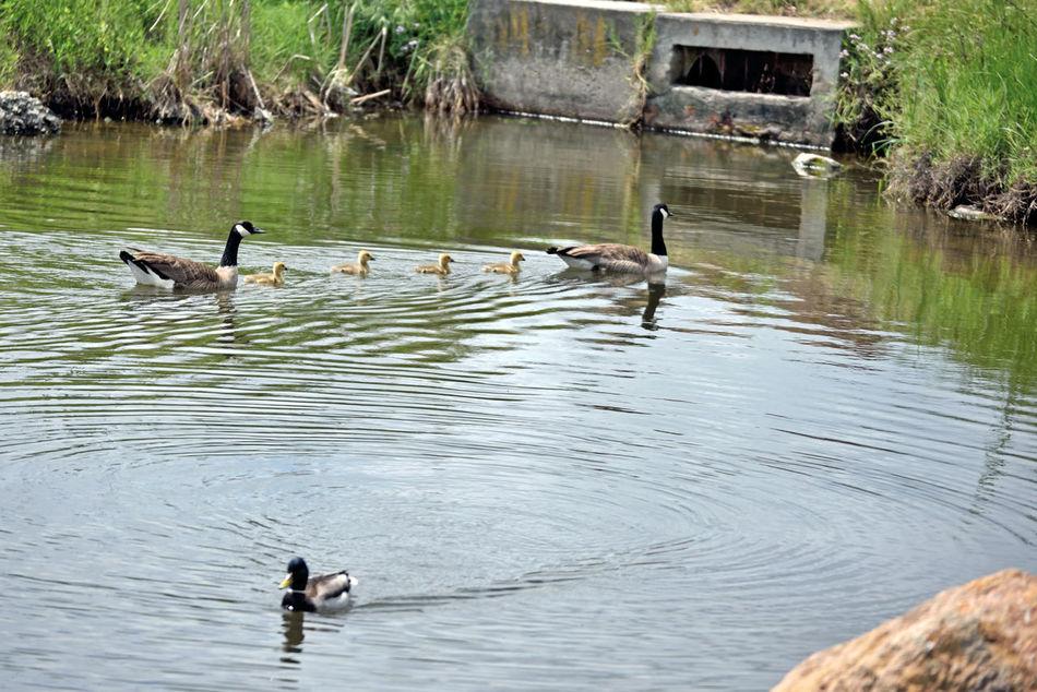Canadian Goose Goslings @ Crown Beach 2 Branta Canadensis Gosling Brood Anserini Mated Pair Goose Gander Waterfowl Alameda, Ca. Pond Gaggle Of Geese Family Outing Swim Across The Pond Mallard Duck