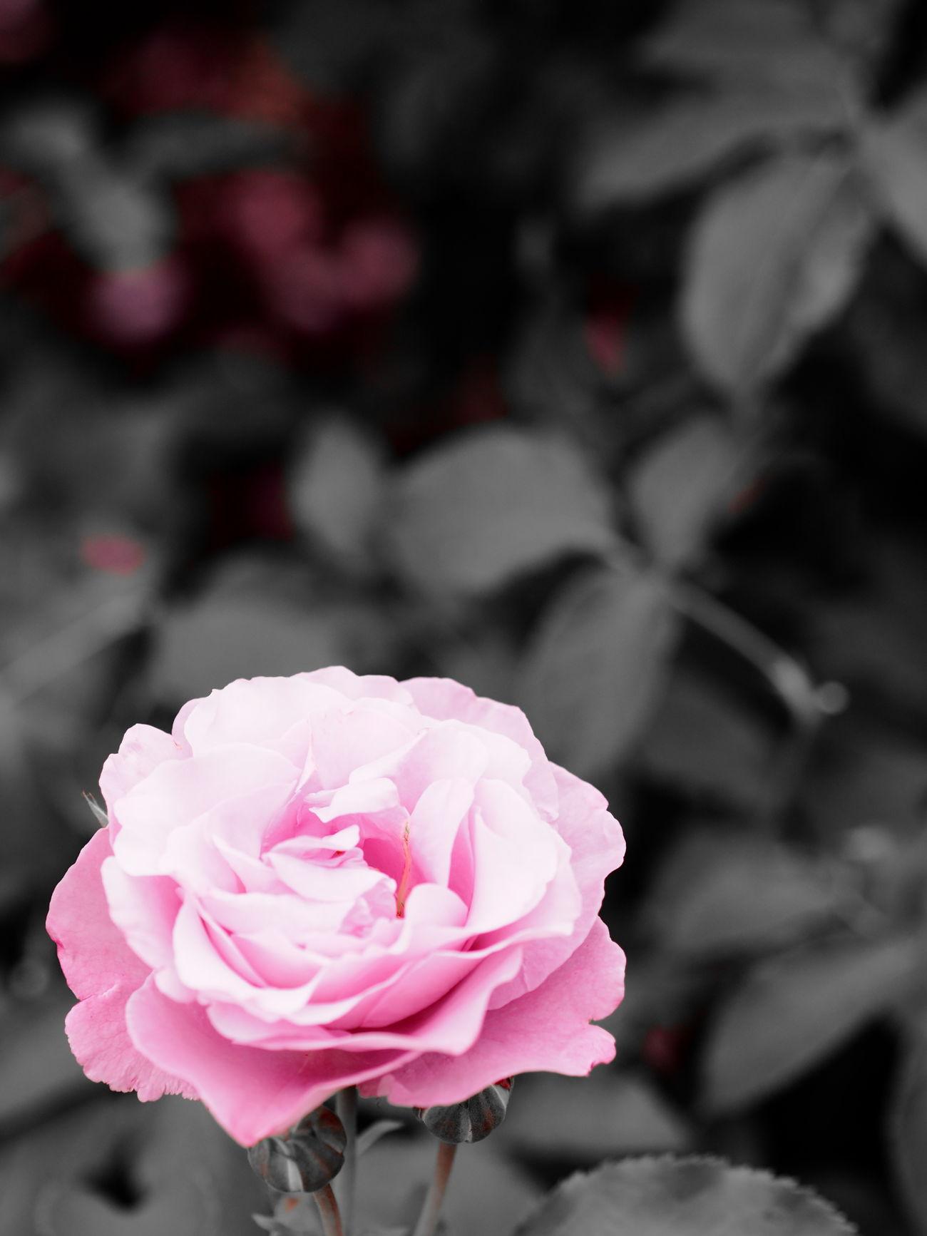 EyeEmFlower Flower Flower Collection Flower Head Rose - Flower Rose Garden Roses🌹 Rose♥ Rose🌹
