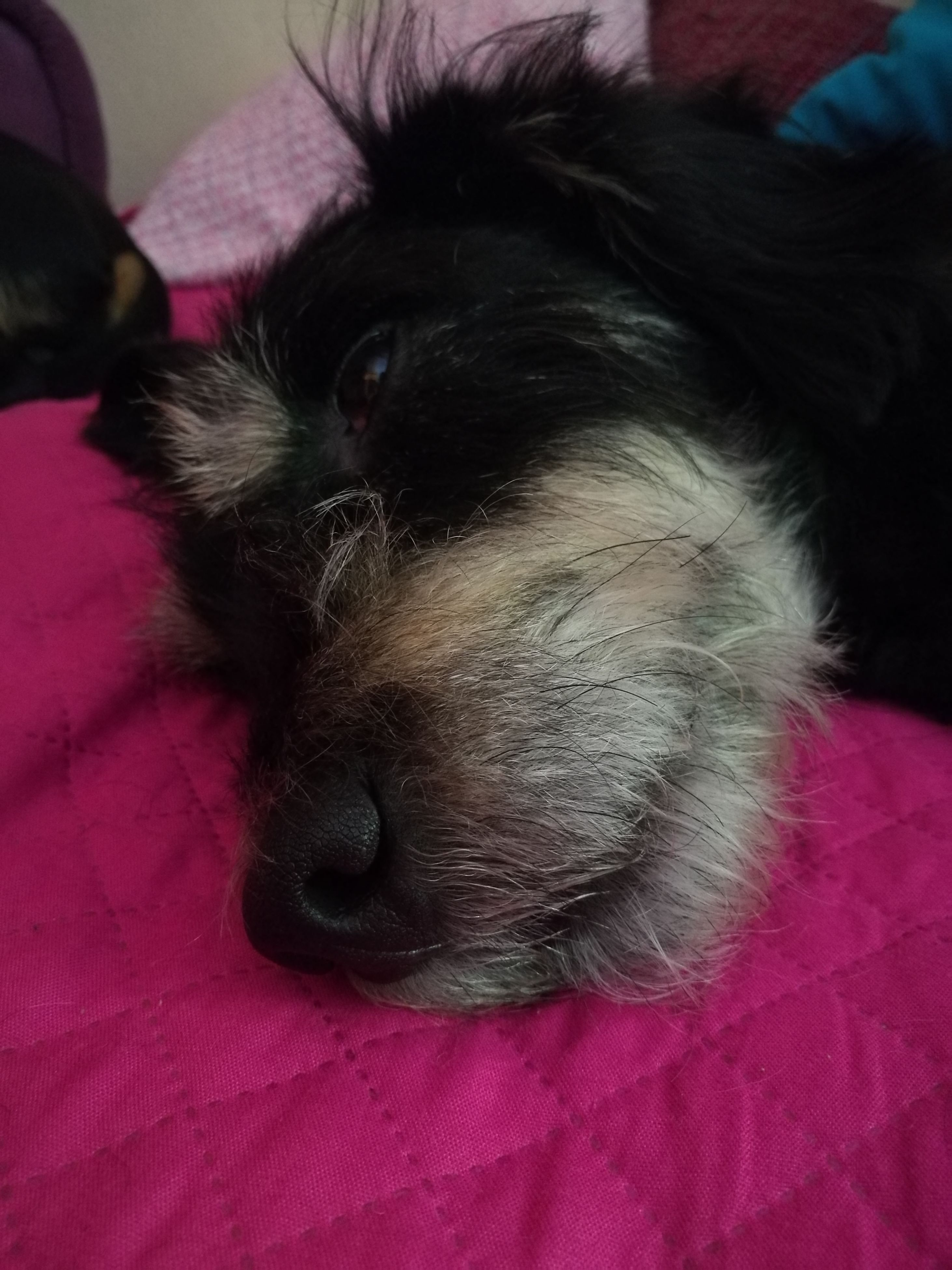 pets, domestic animals, animal themes, mammal, dog, relaxation, bed, resting, close-up, lying down, sofa, animal head, comfortable, animal body part, portrait, no people, animal hair, home, black color, focus on foreground, cute, whisker