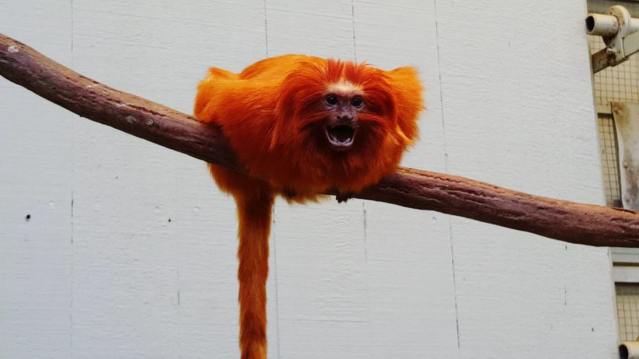 Hanging Out Monkey Business Monkey Face Hello World Golden Lion Tamarin Golden Marmoset Tamarin Hello Monkey Orange Small Animals Taking Photos Showcase April EyeEm Nature Lover AT THE ZOO Animal Photography Animal Themes Smile Smiling Monkey Animals Posing Animals Smiling Beauty In Nature