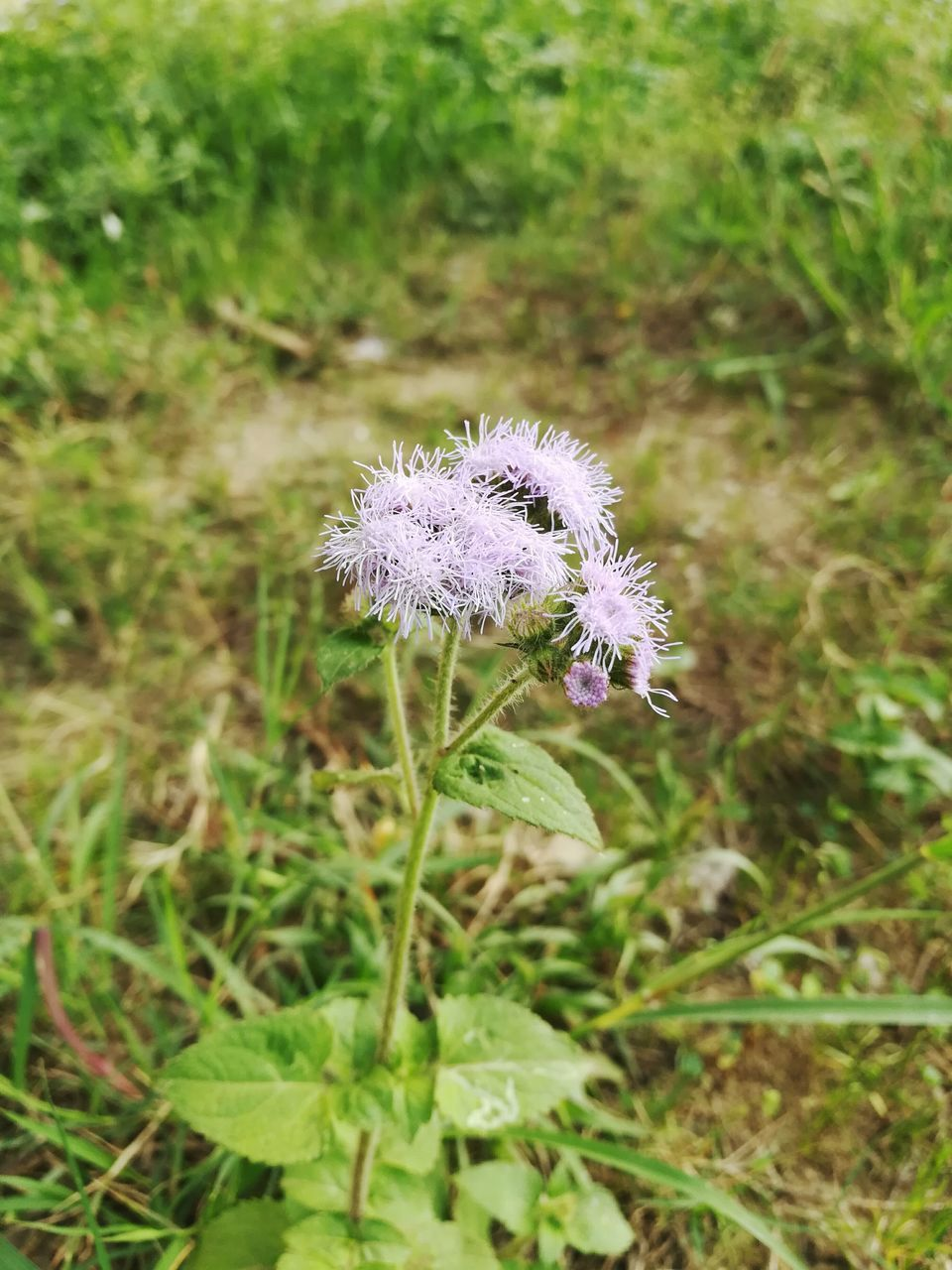 flower, nature, fragility, growth, plant, focus on foreground, green color, beauty in nature, day, flower head, purple, outdoors, field, no people, freshness, close-up, blooming