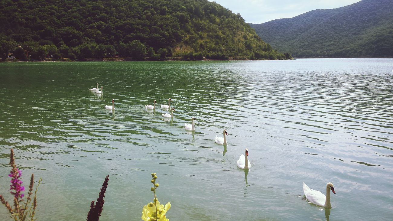 Landscape Lake Lake View Water Green Water Forest Tree Trees Hill Hills Mountains Mountain Flowers Flower Swan Swans White Swan White Swans Bird Birds Daytime Day AbrauDurso Abrau-Durso First Eyeem Photo
