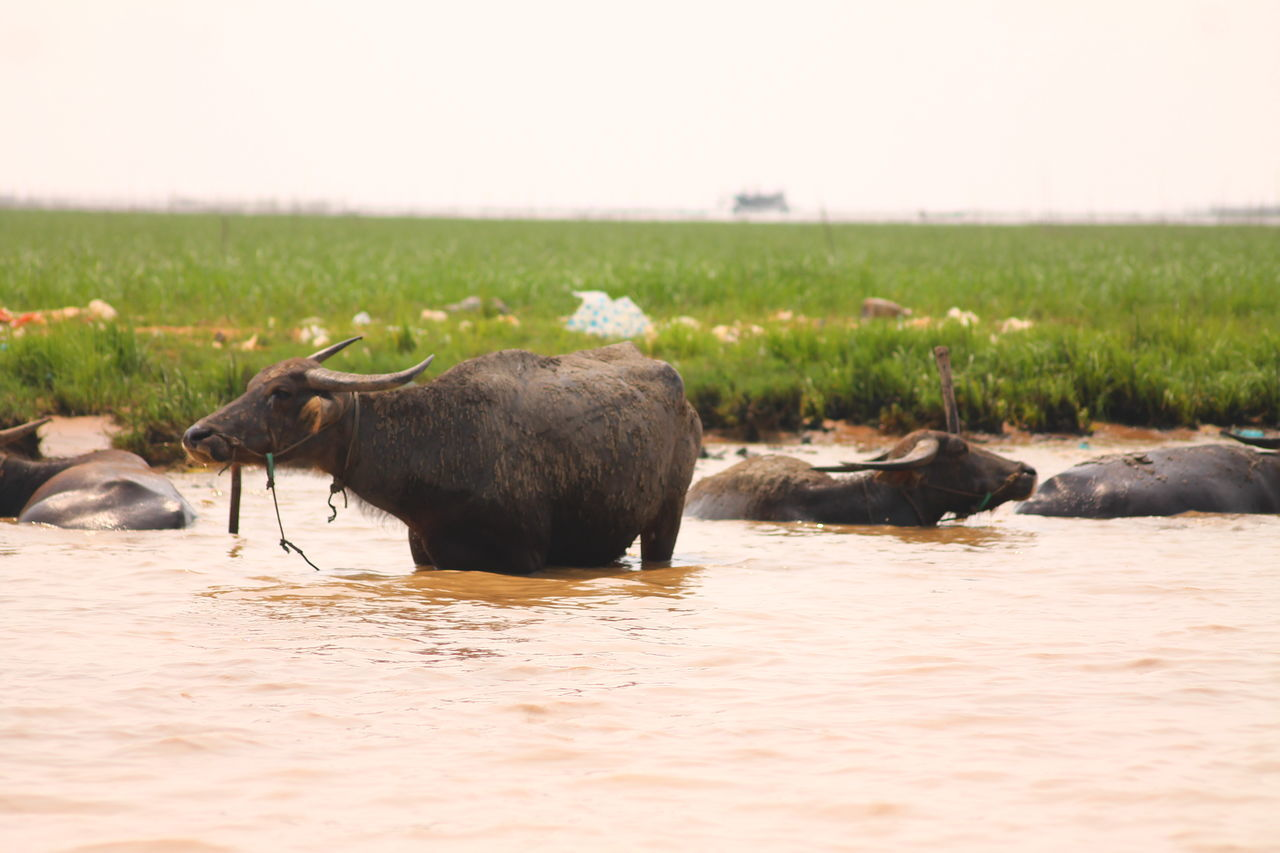 Beast Of Burden Water Buffalos Animal Animal Body Part Herd Outdoors No People Hoofed Mammal Livestock Agriculture Animal Themes Nature Purist No Edit No Filter Purist In Photography