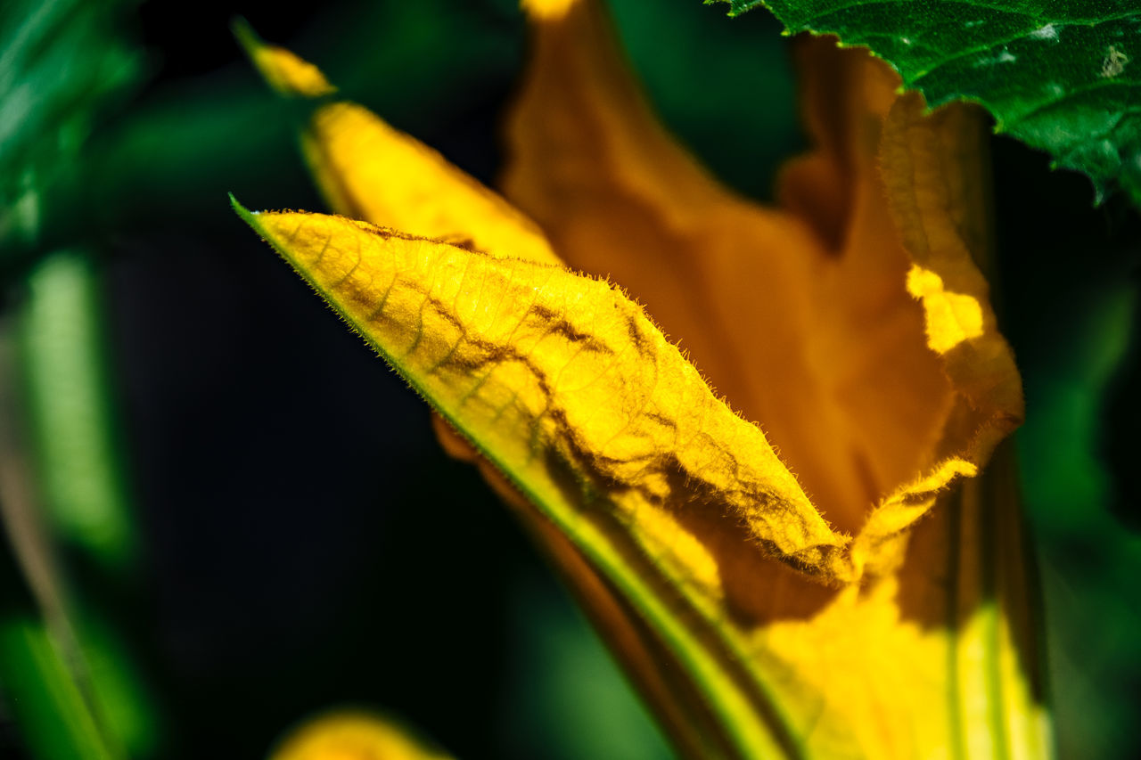 Beauty In Nature Botany Close-up Day Detail Focus On Foreground Fragility Green Color Growing Growth Leaf Leaves Macro Natural Pattern Nature No People Outdoors Plant Selective Focus Tranquility Yellow Zucchini Flower Zuchetti Zuchini Zuchini Blossom