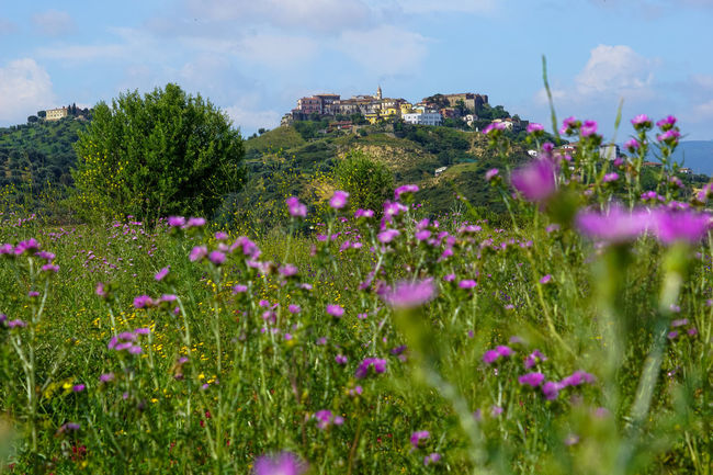 Beauty In Nature Blooming Calabria Calabria (Italy) Calabriadascoprire Day Field Flower Focus On Foreground Fragility Freshness Growing Growth In Bloom Landscape Nature No People Outdoors Petal Pink Color Plant Purple Sky Stem Tranquility