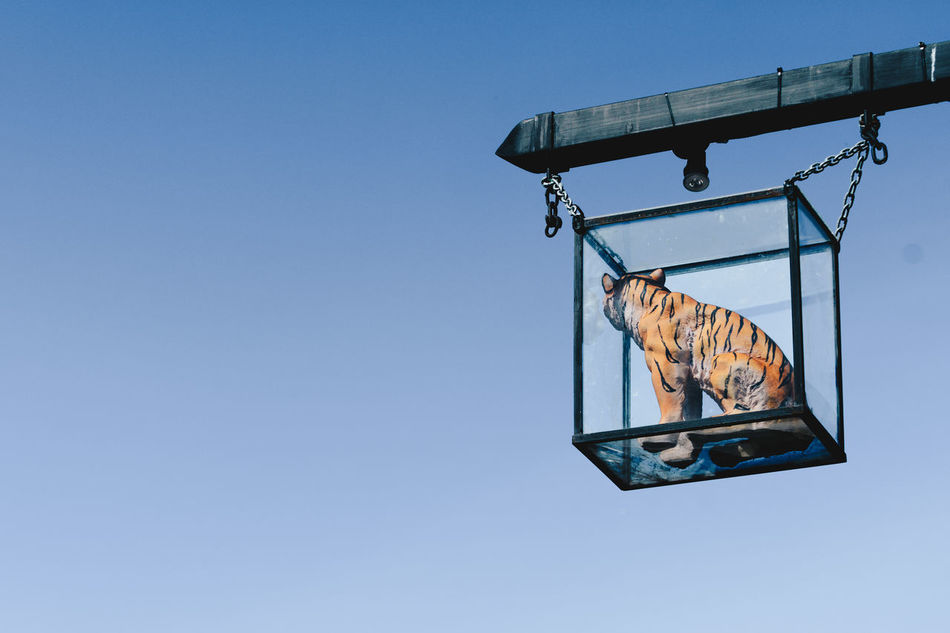 plastic tiger captive in glass box Architecture Blu Sky Blue Building Exterior Captive Captive Animal Captive Animals Clear Sky Concept Conservation Day Desaturated Display Cabinet Displayed Hanging Hanging Low Angle View Nature Negative Space No People Outdoors Sky Social Issues Tiger Wildlife