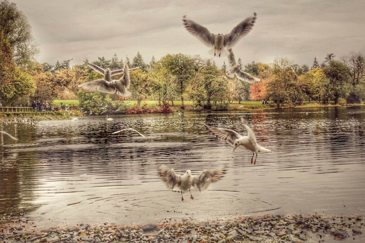 Seagulls At The Lake Hillsborough Forest And Lake Seagulls Lakeside Northern Ireland Best Of EyeEm Natures Magic Beauty In Nature EyeEm Gallery EyeEm Best Shots Our Best Pics Exceptional Photographs EyeEm Nature Lover EyeEm Best Shots - Nature Awesome_nature_shots Captured Motion Water Birds Bird Lake Lakeside Birds Birds Autumnal Colours Flock Of Birds Adapted To The City