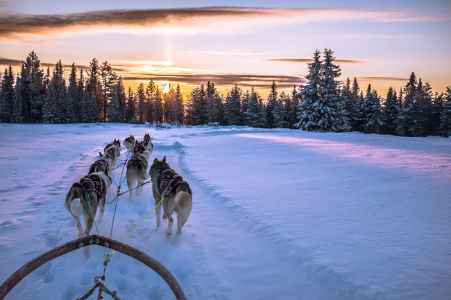 Snow ❄ Snow Animal Themes Cold Temperature Mush Dog Dogs Dog Sledding Clouds And Sky Winter Wonderland Winterwonderland Eyem Nature Lovers  Wintertime Husky Sunset Musher Dog Sled Mush Camp Sled Dog Cold Winter ❄⛄ Adventure Winter Sledge Dog Dog Sleddog Eyemnaturelover