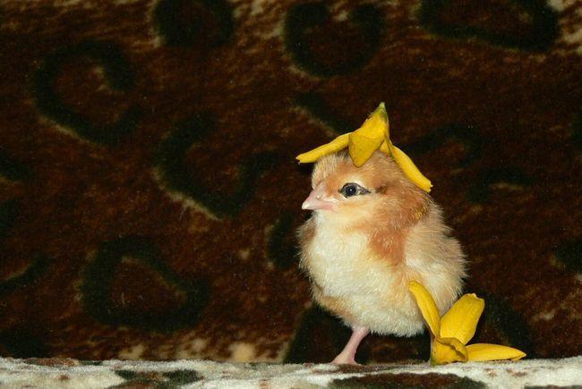 цыпленок рыжий кучинский кучинская птенец цветок  желтый яйцо ребенок стрелки
