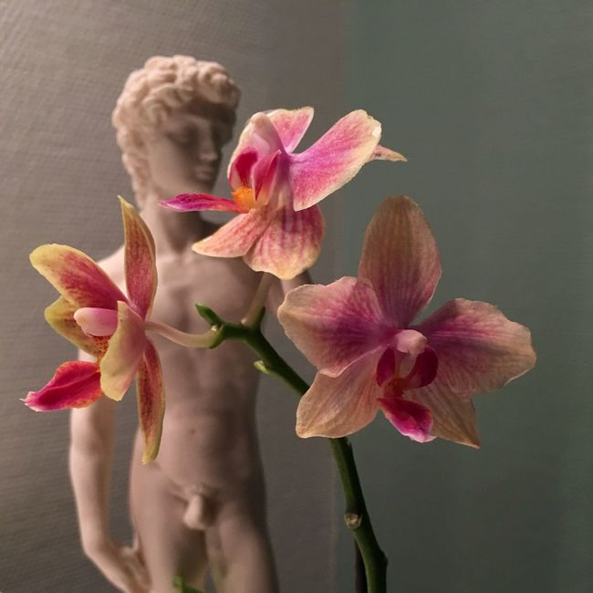 Denmark 🇩🇰🇩🇰🇩🇰 Bathroom Pic David Statue Flower Petal Freshness Fragility Flower Head Close-up Beauty In Nature Pink Color Nature Selective Focus Springtime Water Growth In Bloom Flower Arrangement Blossom Arrangement No People Botany Vibrant Color Orchid Blossoms Orchid Flower