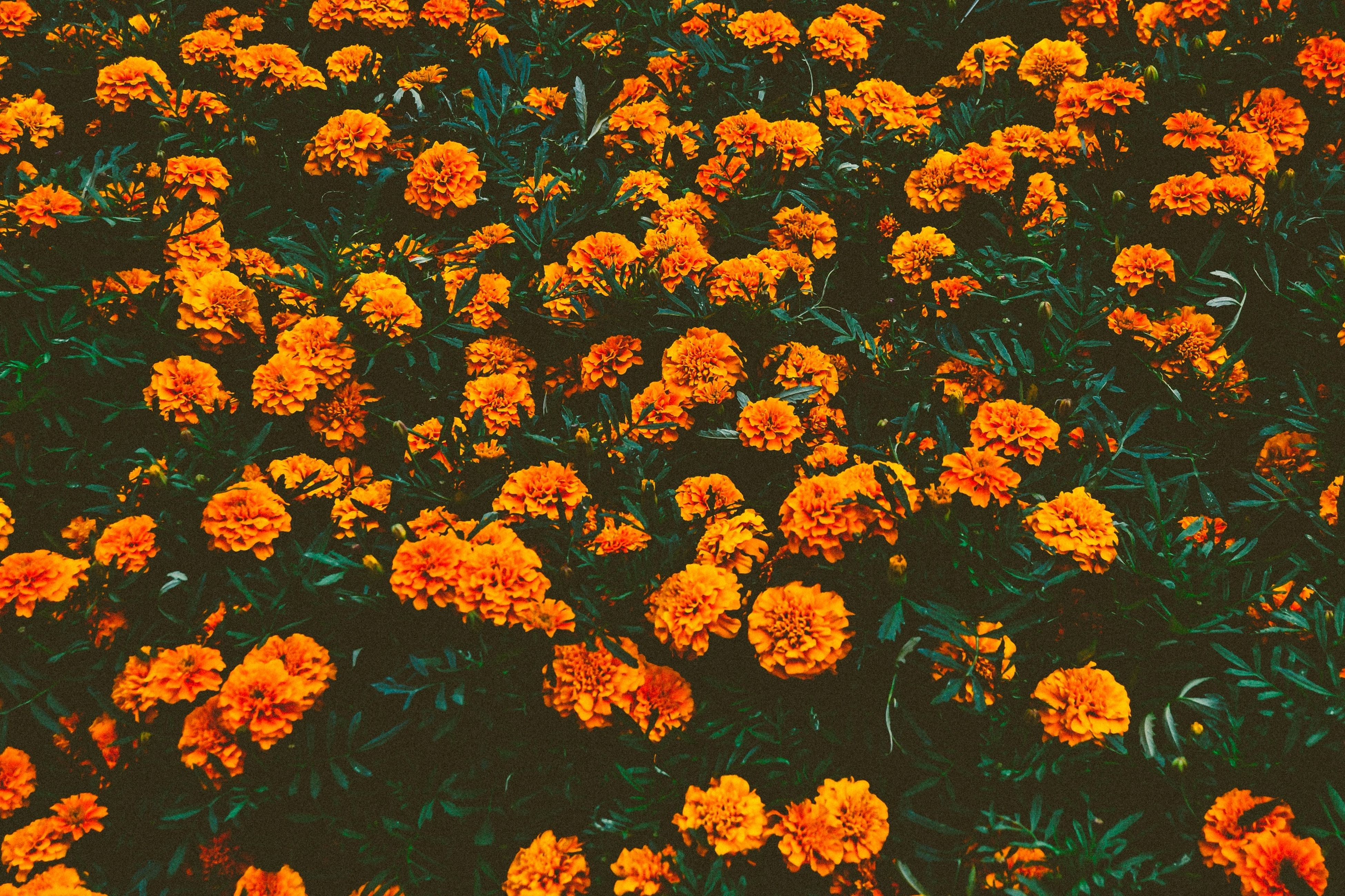 flower, yellow, growth, freshness, petal, fragility, beauty in nature, plant, high angle view, nature, full frame, orange color, leaf, backgrounds, blooming, flower head, no people, in bloom, outdoors, day