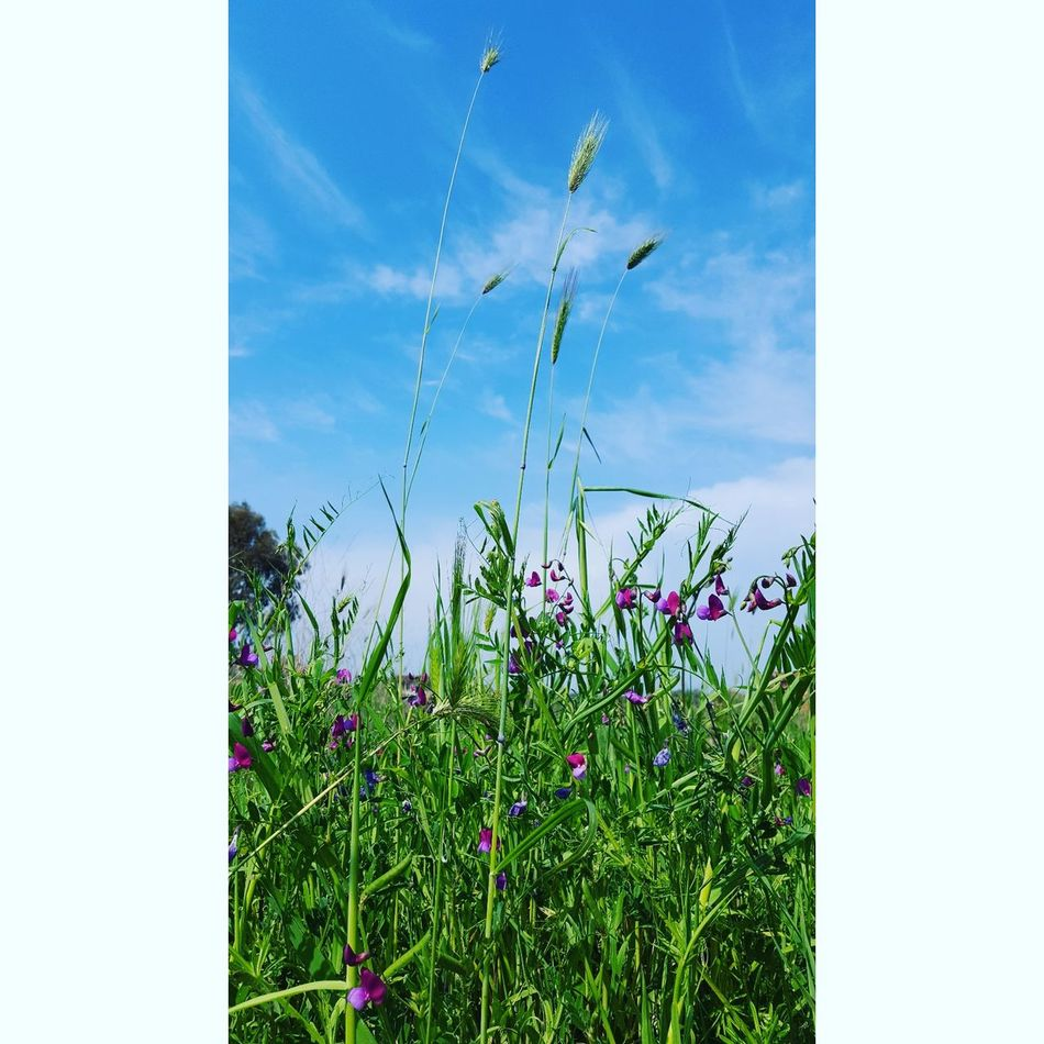 Growth Nature Sky Grass Outdoors Plant Flower Day No People Summer Blue Freshness Beauty In Nature Rural Scene Poppy