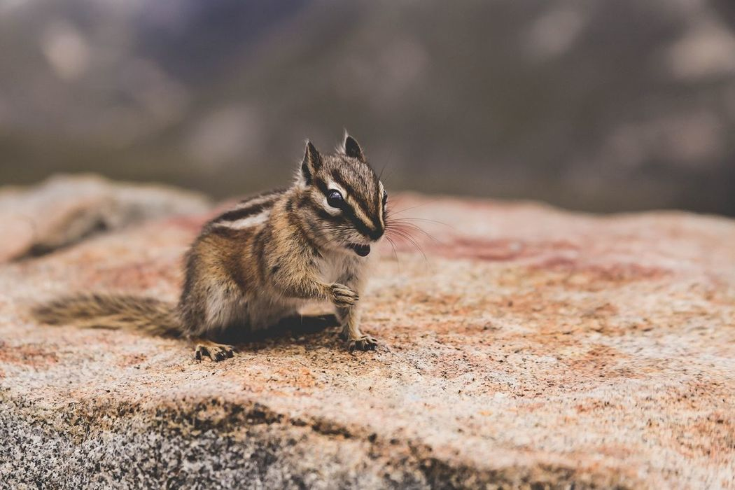Colorado Outdoors Beautiful Nature Chipmunk Animal Cute Rocky Mountains One Animal Fuzzy Striped Stripes, Blue Close-up Brick Animal Wildlife Animal Markings Animals In The Wild Animal Behavior Animal Photography