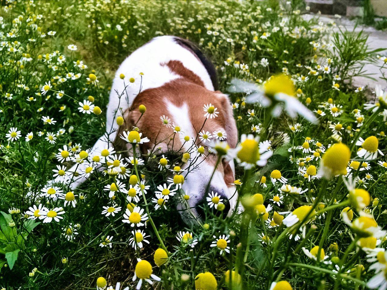 Enjoying nature Beagle Dogs Relaxing Hound Cute Pets Flowers Nature Grass