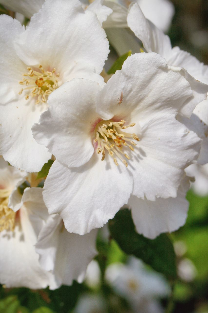 flower, white color, petal, fragility, nature, beauty in nature, flower head, close-up, growth, blossom, freshness, no people, pollen, stamen, day, plant, outdoors, springtime, blooming
