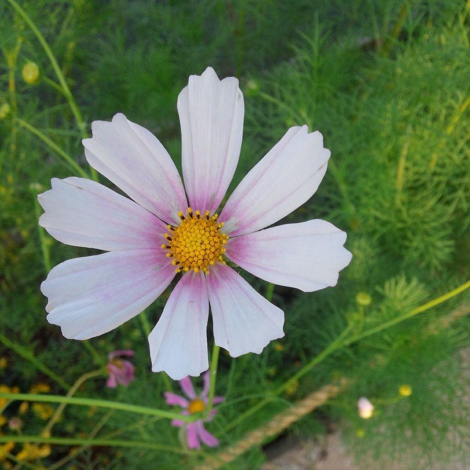 조금이른코스모스 With My Lover💕 Flower Pic Of The Day
