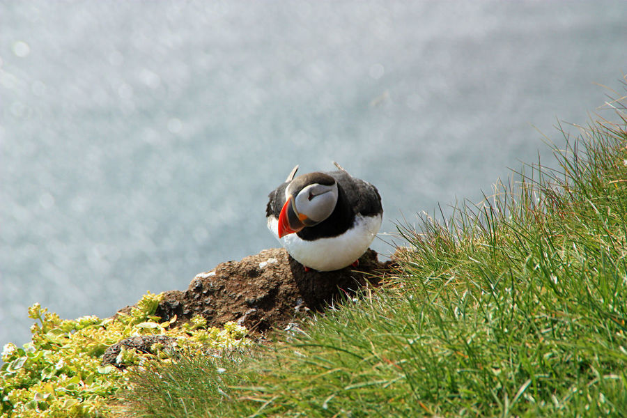 Puffin Sitting Wildlife & Nature Animal Themes Animal Wildlife Animals In The Wild Bird Close-up Day Grass Nature No People Observing One Animal Outdoors Puffins Sea Sea Side