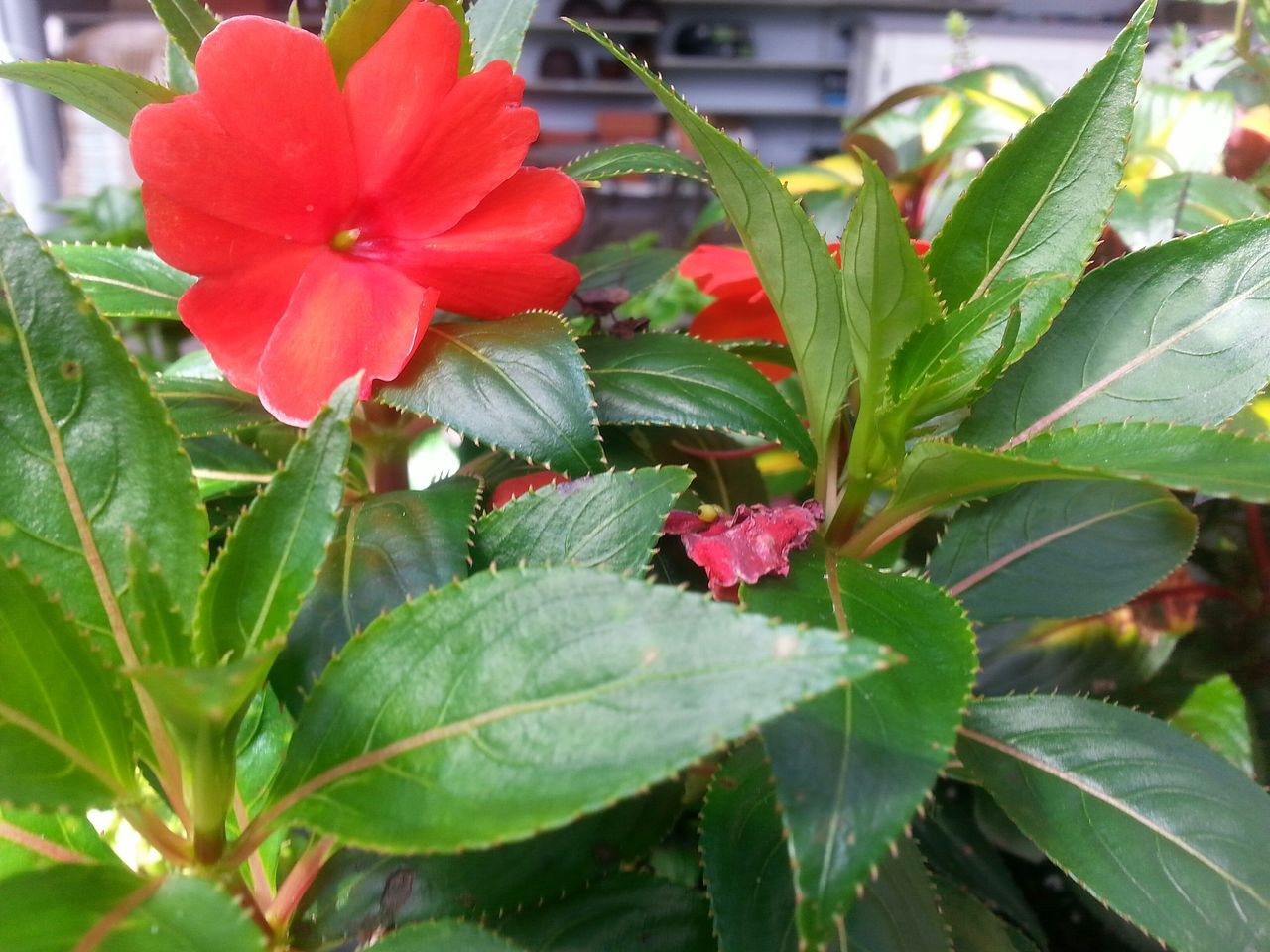 EyeEm Nature Lover Naturelover❤ RedFlower Green Leaves Loverofphotography Loverofnature