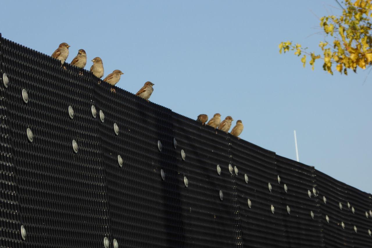 Birds on a fence. Birds On A Fence Black Fence Clear Sky Day Low Angle View Many Many Birds No People Outdoors Sky Soaking The Sun Sparrows Visual Balance