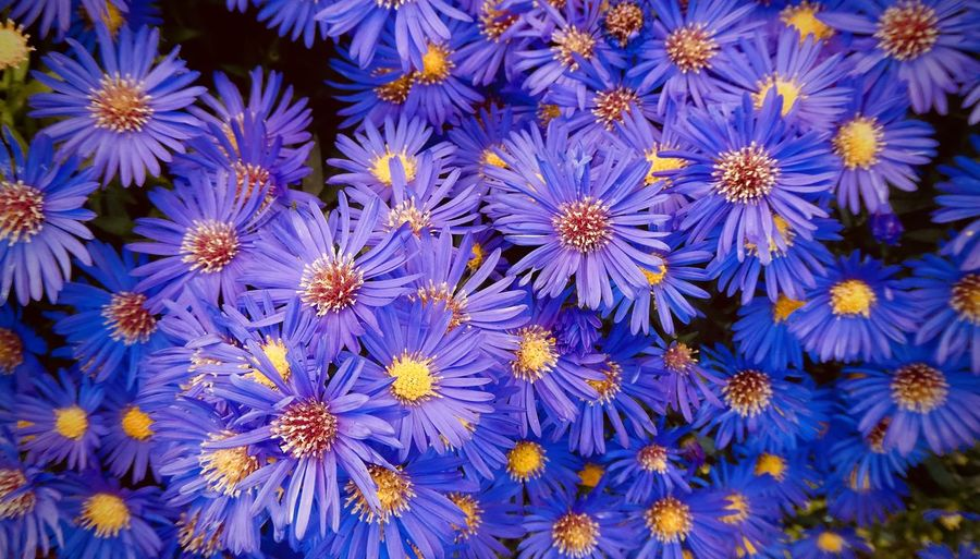 Herbstaster Astern Asternblüte Beauty In Nature Day Flower Freshness Growth Herbstastern Nature No People Outdoors Plant Purple