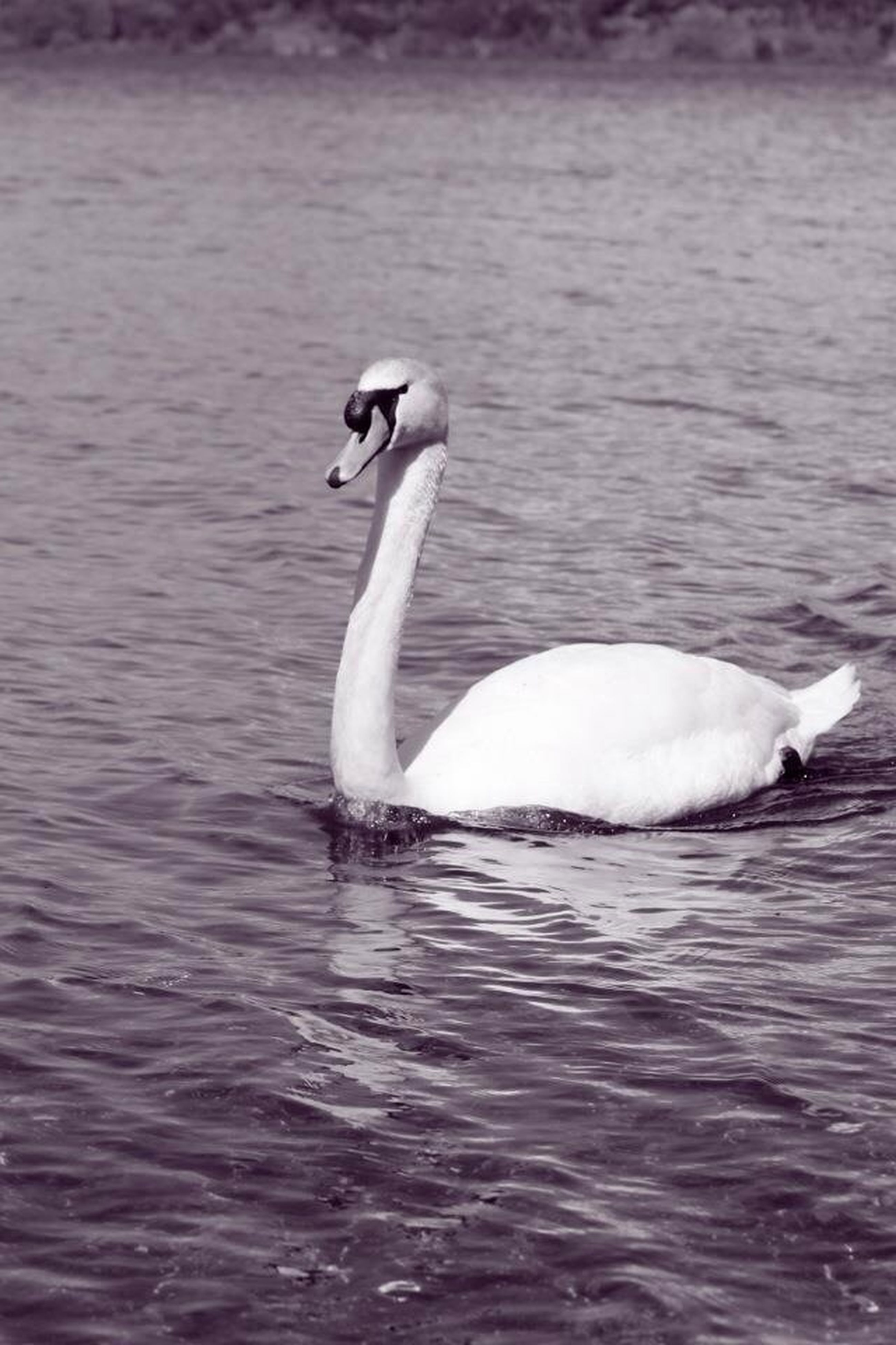 animal themes, bird, animals in the wild, water, wildlife, swan, one animal, waterfront, swimming, lake, rippled, white color, water bird, beak, nature, two animals, side view, outdoors, animal, floating on water