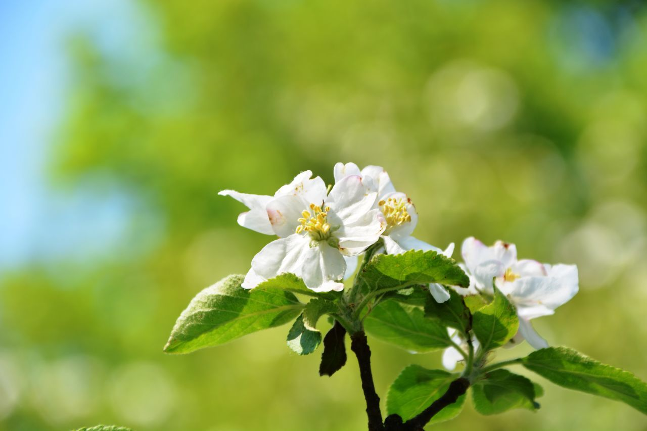Apple Blossom Beauty In Nature Blossom Bokeh Botany Flower Flower Head Fragility Freshness Growth In Bloom Nature Petal Pollen Season  Springtime Stamen Sunny White Color Joy Joy Of Life Joyful Branch