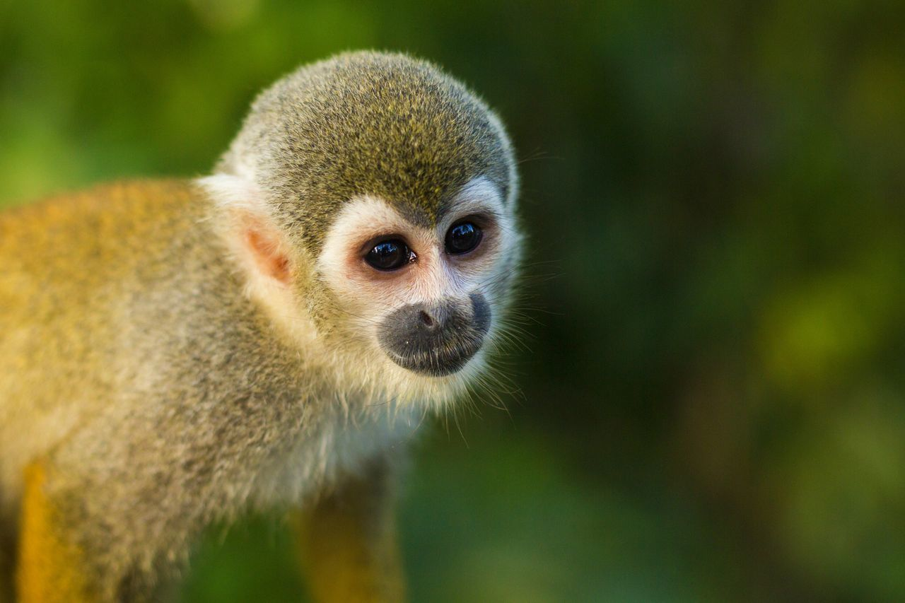 Beautiful stock photos of monkey, Copy Space, animal Hair, animal Head, animal Themes
