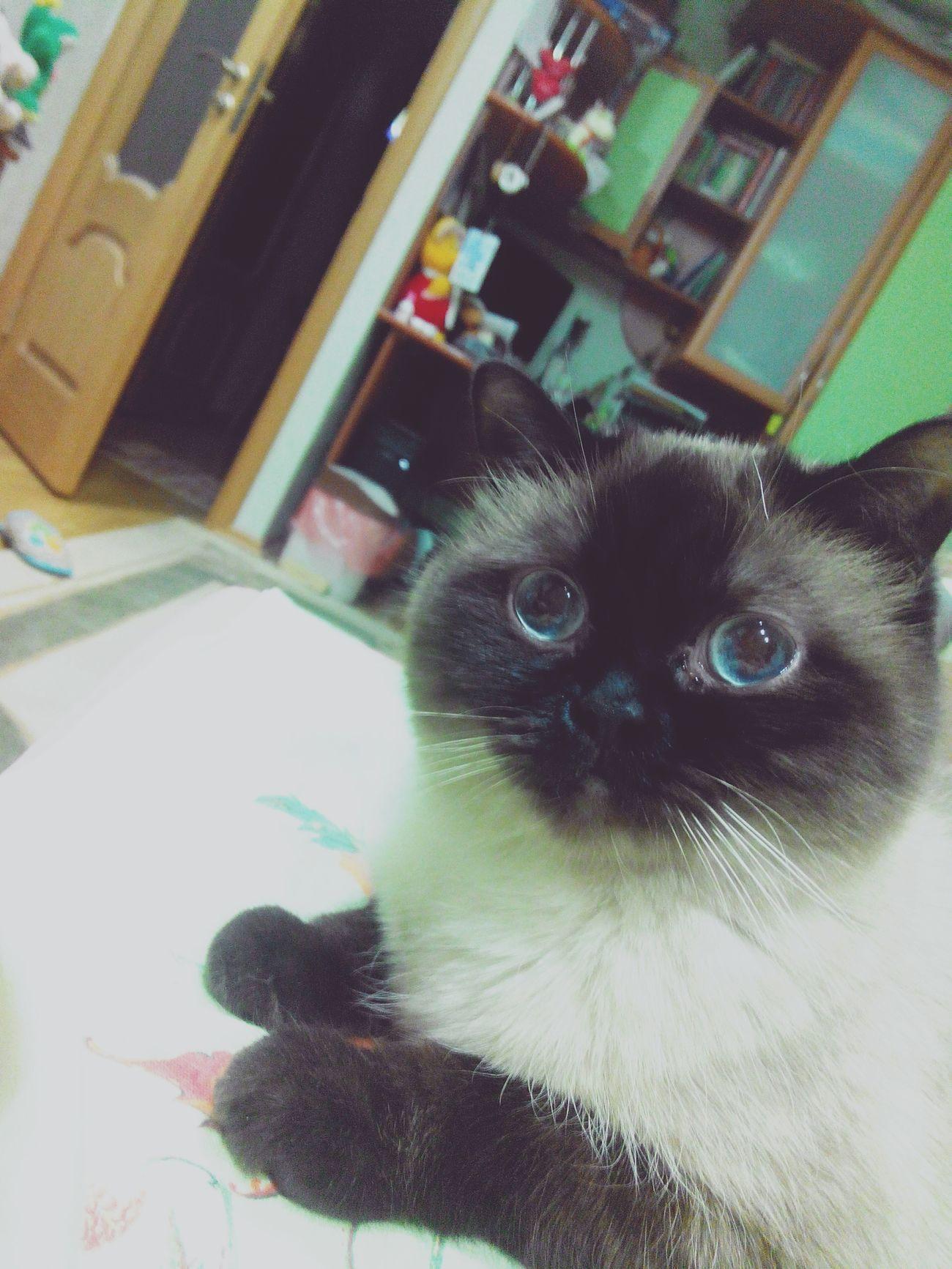 Моя моделька кот моялюбовь моесчастье мойумка черныеушки черныелапки священнаябирма Cat голубые глаза