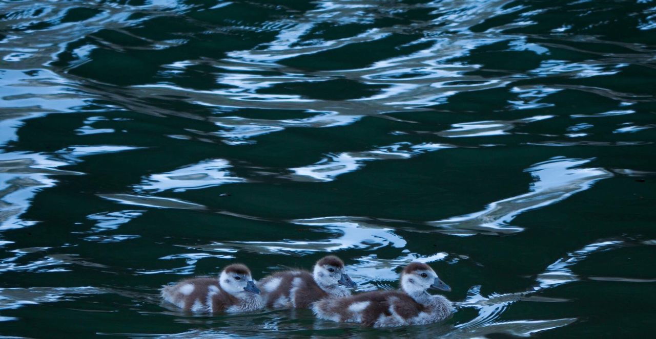 animal themes, water, animals in the wild, swimming, high angle view, day, waterfront, nature, outdoors, animal wildlife, no people, large group of animals, lake, togetherness, mammal, bird